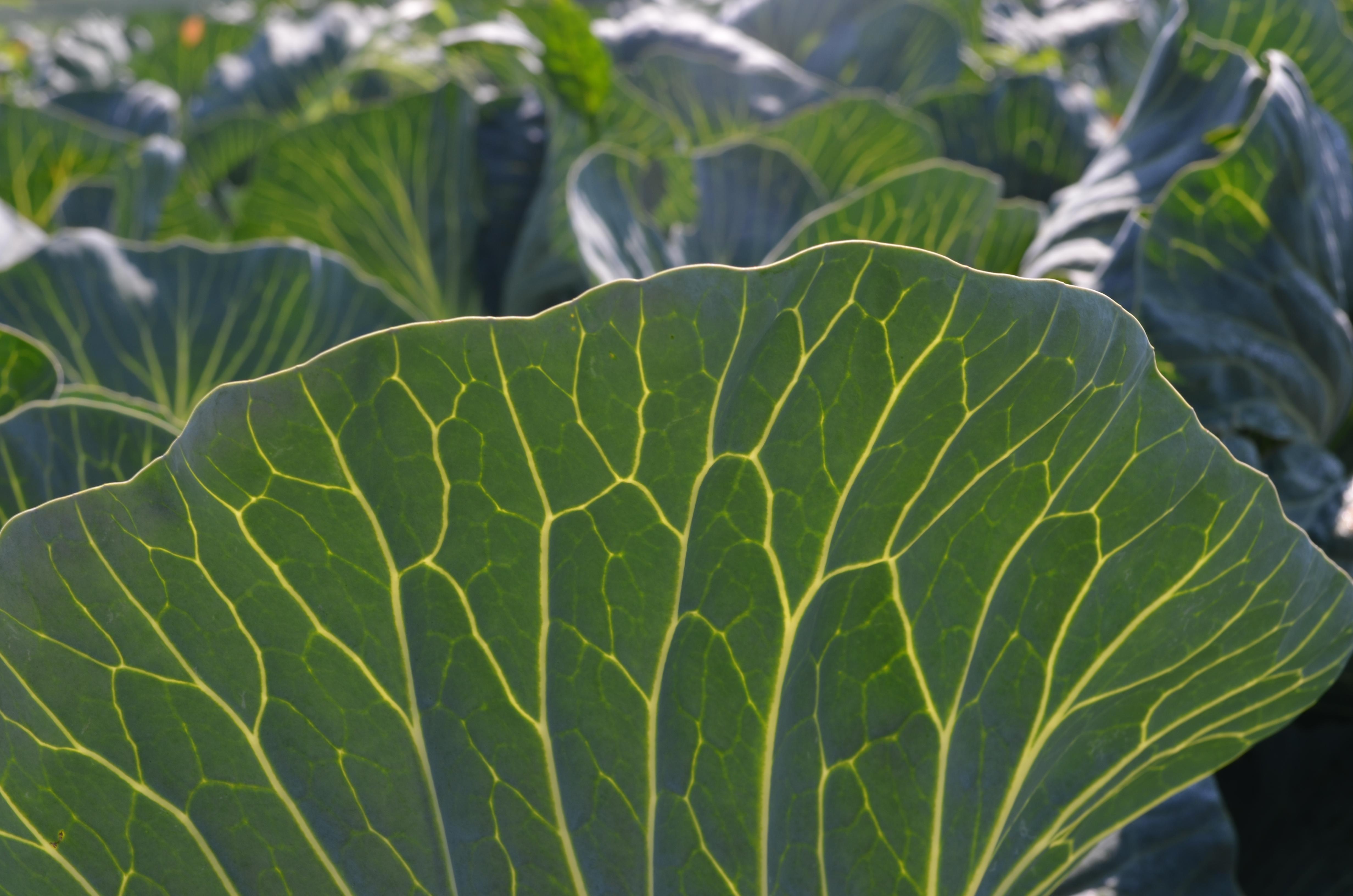 Cabbage Leaf