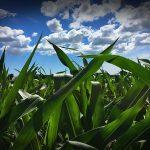 Midsummer Corn