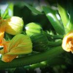 Winter Squash Blossoms